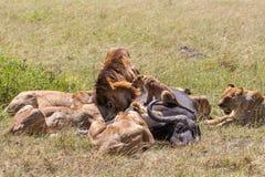 Lions Feeding Stock Photography