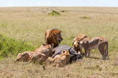 Lions Feeding Royalty Free Stock Images