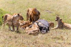Lions Feeding Royalty Free Stock Image