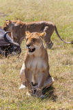 Lions Feeding Stock Photos