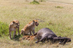 Lions Feeding Stock Images
