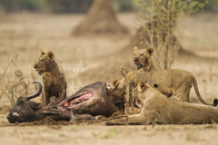 Lions feeding on a kill. Lions feeding on African Buffalo kill Stock Photo
