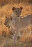 Lions femelles Images libres de droits