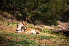 lions femelles Images stock