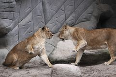 Lions fight Stock Image