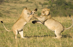 Lions fighting. A large male and female lion mock fighting in Kenya's Masai Mara Stock Photography