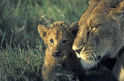 Lions(focus on cub) stock images