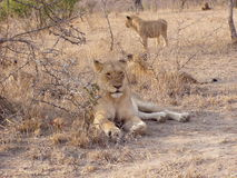 Lions at Game reserve Stock Photo