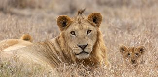 Lions in grasslands on the Masai Mara, Kenya Africa stock images