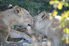 Lions Grooming. Two lioness' grooming each other with cubs in the background. Taken in the the Luangwa valley, Zambia Royalty Free Stock Images