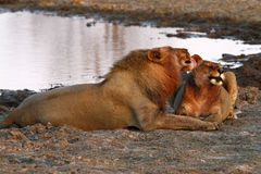 African Lions Social & Friendly Grooming Stock Image