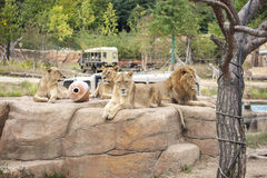Lions group in safari zoo Royalty Free Stock Photography