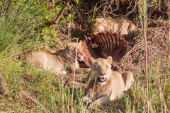 Lions having lunch Stock Photography