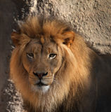 Lions head Royalty Free Stock Photos