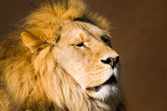 Lions Head. A closeup shot of a Lion royalty free stock photo