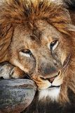 Lions head. Close up of head and paw of male lion resting on rock ledge Royalty Free Stock Photography