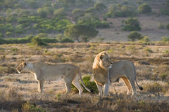 Lions Hunting Royalty Free Stock Photo