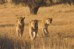 Lions hunting. In Kalahari Desert, Southern Africa Royalty Free Stock Photo
