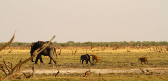 Lions Hunting Baby elephant Royalty Free Stock Photography