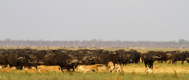 Lions hunting Buffalo Stock Photos
