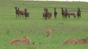 Lions hunting in the plains stock video footage