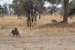 Lions hunting warthogs in the savanna Stock Photography