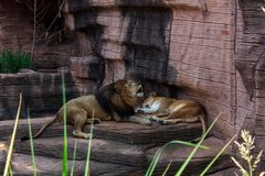 Lions hurlant sur des roches avant un petit somme images libres de droits