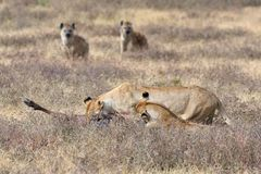 Lions and hyenas in NgoroNgoro area. Lions and hyenas in NgoroNgoro Conservation Area, Tanzania, Africa, carnivores stock images