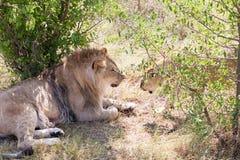 Lions III Image libre de droits