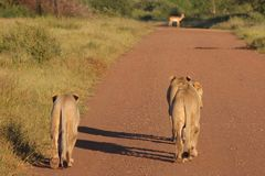 Lions and Impala. Lions staring down Impala on road Stock Images