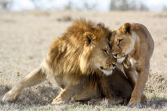 Free Lions In Love Stock Photos - 91702903