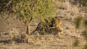 Lions joignant dans la savane, en parc national de Kruger Photos stock