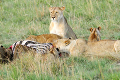 Lions with kill (Zebra). The lion is one of the four big cats and belongs to genus Panthe Stock Photos
