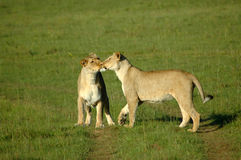 Lions kissing royalty free stock photos