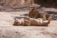 Lions kopplar ihop Arkivfoton
