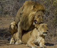 Lions - Kruger national Park Mating Pair Stock Images