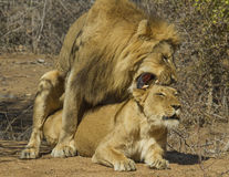 Lions - Kruger National Park Mating Pair Stock Photography