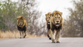Lions in Kruger National park, South Africa Royalty Free Stock Photography