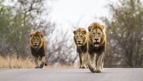 Lions in Kruger National park, South Africa. Specie panthera leo family of felidae, Lions walking on the road in Kruger National park, South Africa stock image