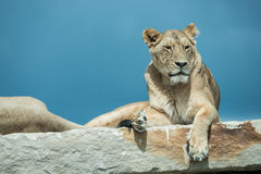 Lions laying on rock Stock Images