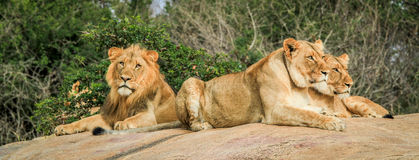 Lions laying on the rocks Stock Photos