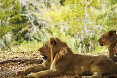 Lions laying in the shade Stock Photos