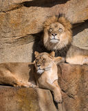 Lions on the ledge. Male and female African lions (Panthera leo) resting on rocky ledge Royalty Free Stock Image