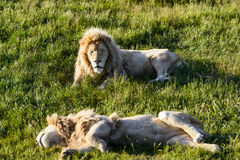 Lions lie on the grass Stock Photo