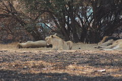 Lions  and Lioness resting. Lions and Lioness taking an afternoon assessment of the day Royalty Free Stock Photos