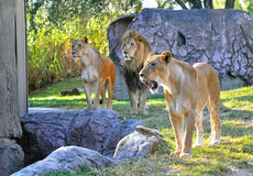 Lions and lionesses. Hungry lion and lionesses in search of something to eat, at a park Stock Photo