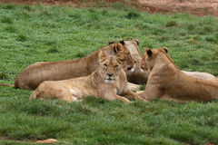 Lions and lionesses Stock Photography