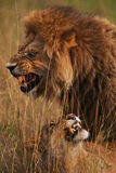 Lions. Lios cat predator savannah africa pride grass love family Stock Images