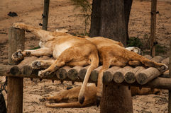 Lions in Lisbon Zoo Royalty Free Stock Images