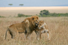 Lions in love. African lion and lioness during courtship Masai Mara, Kenya Royalty Free Stock Image